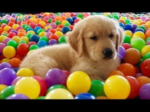 Sammie's First Bath! 8 Week Old Golden Retriever Puppy | Trampoline Ball Pit